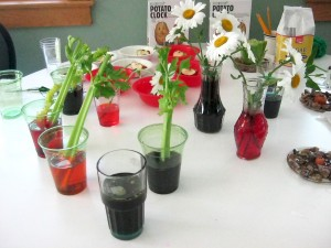 Dyeing Celery and Flowers